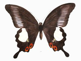 PapilioIswara 456 1a.jpg