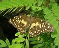 PapiliodemoleusJavadi.jpg
