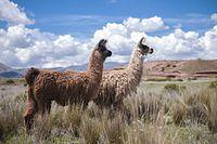 Des lamas de Bolivie