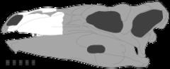 Czaszka; znany jest jedynie fragment górnej szczęki zaznaczony na biało