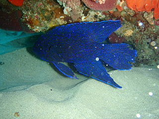 Southern blue devil species of fish