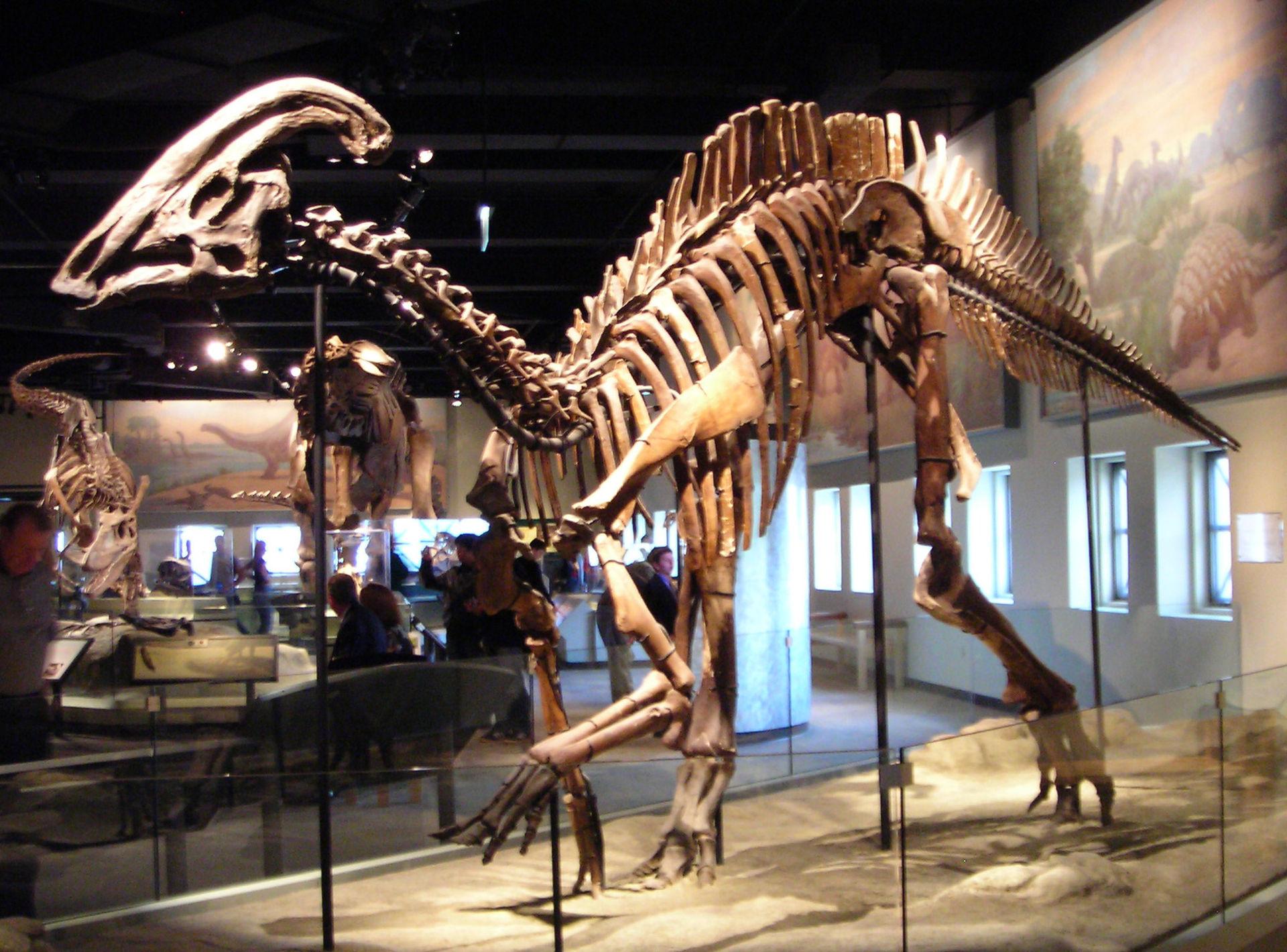 Squelette de Parasaurolophus