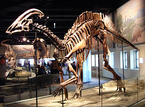 Hadrosaurid - Mounted skeleton of Parasaurolophus cyrtocristatus, Field Museum of Natural History