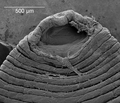 Parasite180056-fig2A Placobdelloides siamensis (Glossiphoniidae).png