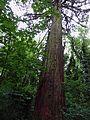 Parc National Forestier de la Poudrerie de Sevran - Séquoia géant 01.jpg