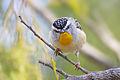 Pardalotus punctatus - Meehan Range.jpg