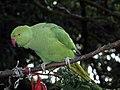 Parrot in Vondelpark (5718774805).jpg