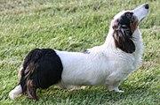 A double-dapple long-haired Dachshund