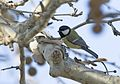Parus major - Great tit, Adana 2016-12-10 01-1.jpg
