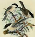 Parus palustris, montanus Dresser.png