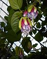 Passiflora 2015-06-16 321.JPG