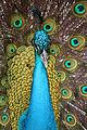Pavo cristatus in Barbados Wildlife Reserve 18.jpg