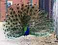 Peacock at The Magnetic Hill Zoo, Moncton, New Brunswick, Canada (39567410995).jpg