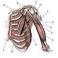 Pectoral Muscles.jpg