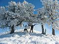 Pemët e mbuluara me dëborë.JPG
