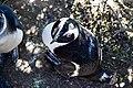Penguins at Boulders Beach, Cape Town (29).jpg