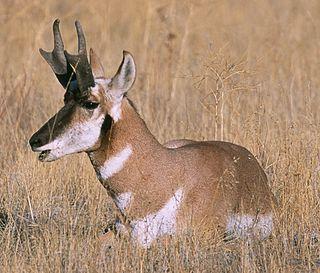 Baja California pronghorn subspecies of mammal