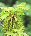 Penunculate Oak (Quercus robor) (4626693936).jpg