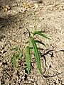 Persicaria minor sl3.jpg