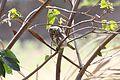 Peruvian Pygmy-Owl (Glaucidium peruanum).jpg
