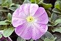 Petunia Lilac Madness 2zz.jpg
