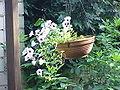 Petunia hybrida0.jpg