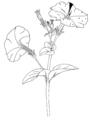 Petunia hybrida ellywa.png