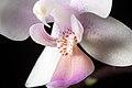 Phalaenopsis equestris (Schauer) Rchb.f., Linnaea 22- 864 (1850) (38772737575).jpg