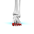 Phalanges of left foot01a anterior view.png