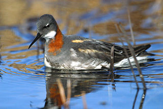 Phalarope genus of birds