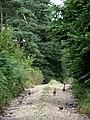 Pheasants on track into Ruse's Plantation - geograph.org.uk - 545042.jpg