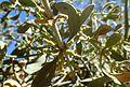 Phoradendron leucarpum ssp tomentosum kz3.jpg