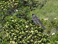 Phrygilus fruticeti, en las alturas de Marachanca, Matucana, Lima, Perú 02.JPG