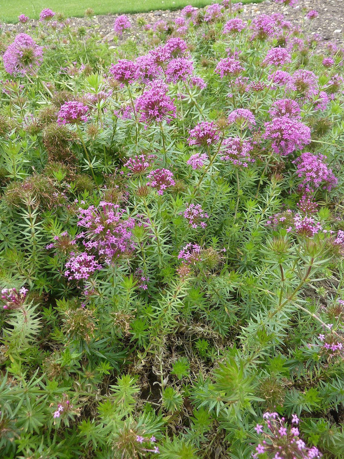 Phuopsis Stylosa Wikipedia