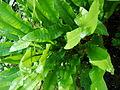 Phyllitis scolopendrium L. Newman.JPG