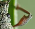 Phyllobius-calcaratus-dantelis.png