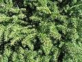 Picea abies Nidiformis 1zz.jpg