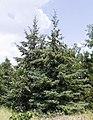 Picea glauca.jpg
