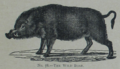 Picture Natural History - No 78 - The Wild Boar.png