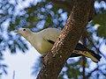 Pied Imperial Pigeon ( Ducula spilorrhoa) - Flickr - Lip Kee.jpg