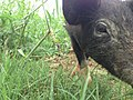Pig Farming in Nepal.jpg