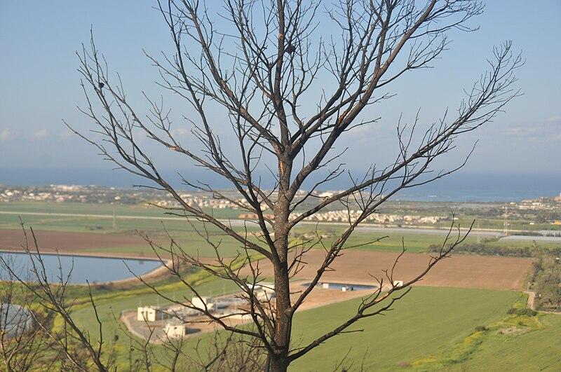 עץ שרוף בכרמל