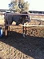 PikiWiki Israel 17392 horse.jpg
