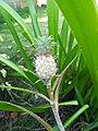 Pineapple Ornamental2.jpg