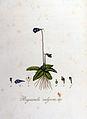 Pinguicula vulgaris — Flora Batava — Volume v8.jpg