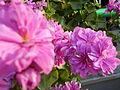 Pink Flowers 06.JPG