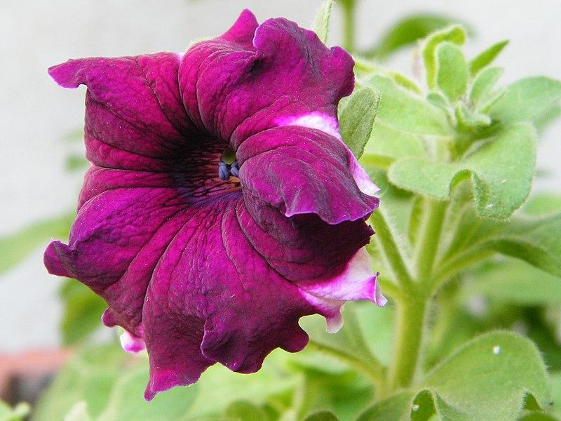 البتونيا الرائعة البتونيا 800px-Pink_Petunia.j