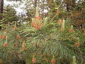 Pinus contorta.JPG