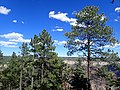 Pinus ponderosa subsp. brachyptera kz10.jpg