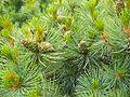 Pinuspumila1.jpg